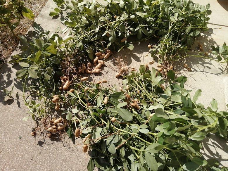 ラッカセイの収穫2020年