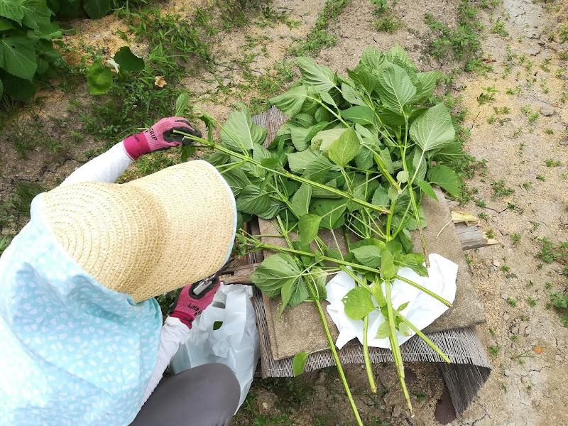 エゴマの葉を収穫2